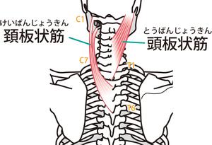 頭板状筋・頸板状筋のイラスト