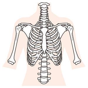 胸郭と肩関節のイラスト