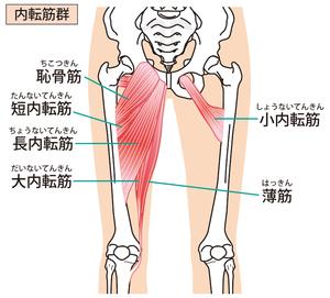 股関節内転筋群のイラスト