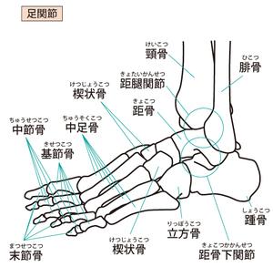 足部・足関節の骨と関節の名称のイラスト