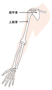上肢のイラスト・主に肩甲骨と上腕骨になります
