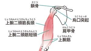 上腕二頭筋の走行を示したイラスト
