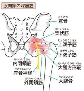 股関節深層殿筋群のイラスト