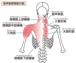 肩甲胸郭関節周囲の筋のイラスト。僧帽筋・肩甲挙筋・菱形筋です。
