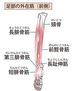 長腓骨筋・短腓骨筋・前脛骨筋・長趾伸筋