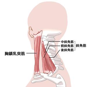 胸鎖乳突筋・斜角筋のイラスト