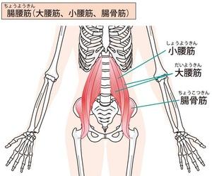 腸腰筋のイラスト。腰椎から大腿骨に走行します。