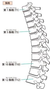胸椎椎間関節のイラスト