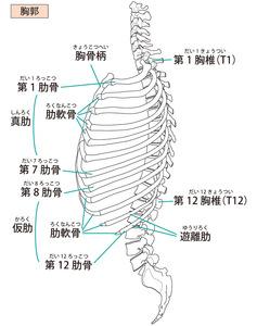 胸郭のイラスト、胸椎や肋骨を含めたものです