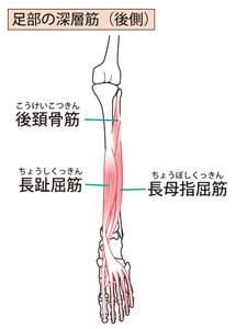 後脛骨筋・長母趾伸筋・長趾屈筋