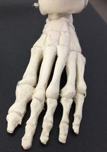 足部の骨模型