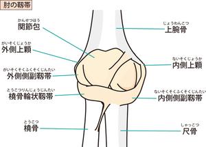 肘関節周囲の骨突起と靭帯