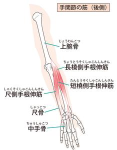 前腕伸筋群のイラスト