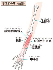 前腕屈筋群のイラスト