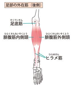 腓腹筋・ヒラメ筋のイラスト