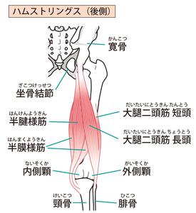 ハムストリング:半腱様筋・半膜様筋・大腿二頭筋のイラスト