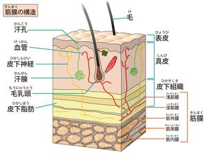皮下組織・筋膜