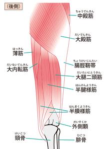 股関節伸筋群:大殿筋・ハムストリングのイラスト