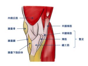膝内側構成筋のイラスト