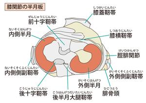 膝関節半月板のイラスト