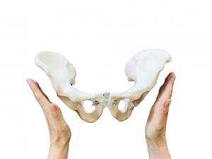 骨盤帯の骨模型