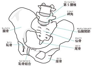 仙腸関節・骨盤帯のイラスト
