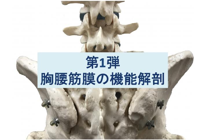 胸腰筋膜の機能解剖第1弾のタイトル