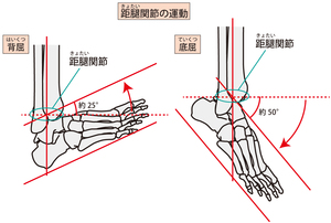 距腿関節の背屈・底屈
