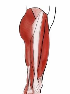大腿外側の筋のイラスト