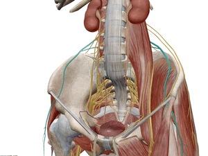 外側大腿皮神経のイラスト