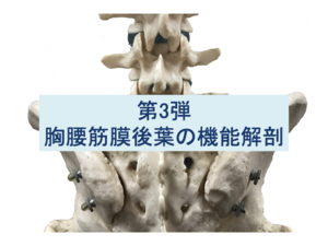 胸腰筋膜後葉の機能解剖第3弾のタイトル