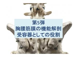 胸腰筋膜の機能解剖:受容器としての役割 第5弾のタイトル