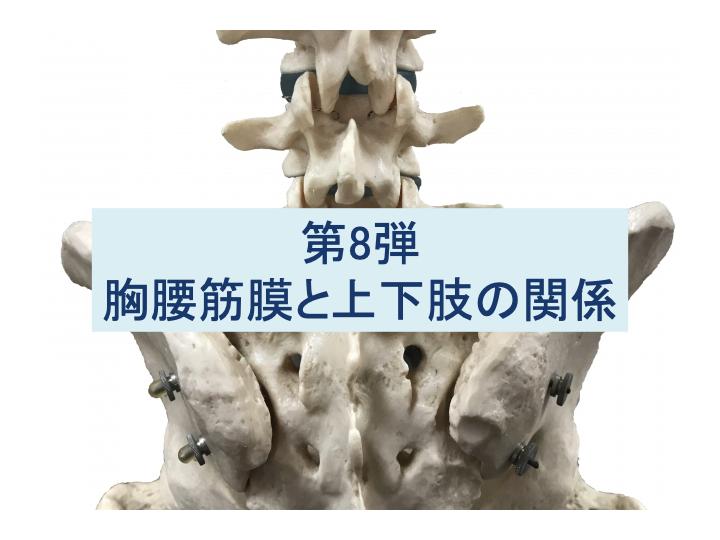胸腰筋膜と腹横筋の関係:姿勢・動作や腰痛と脊柱起立筋・上肢&下肢筋との関係:第8弾