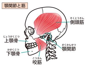 顎関節と側頭筋・咬筋