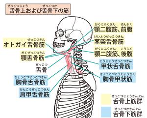 舌骨上・下筋群のイラスト