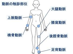 動脈の触診部位