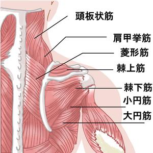 腱板構成筋のイラスト