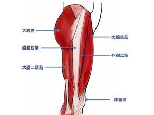 大腿外側の解剖学イラスト