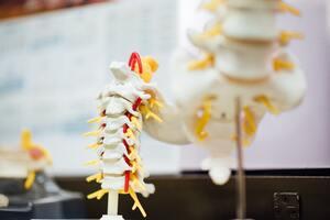 頸椎の骨模型の写真