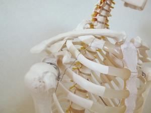 肩関節・肋骨・胸骨の模型
