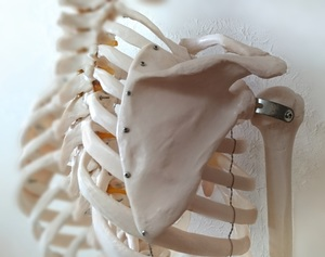 肩甲骨の模型
