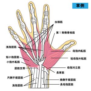 手部の筋肉のイラスト(掌側)