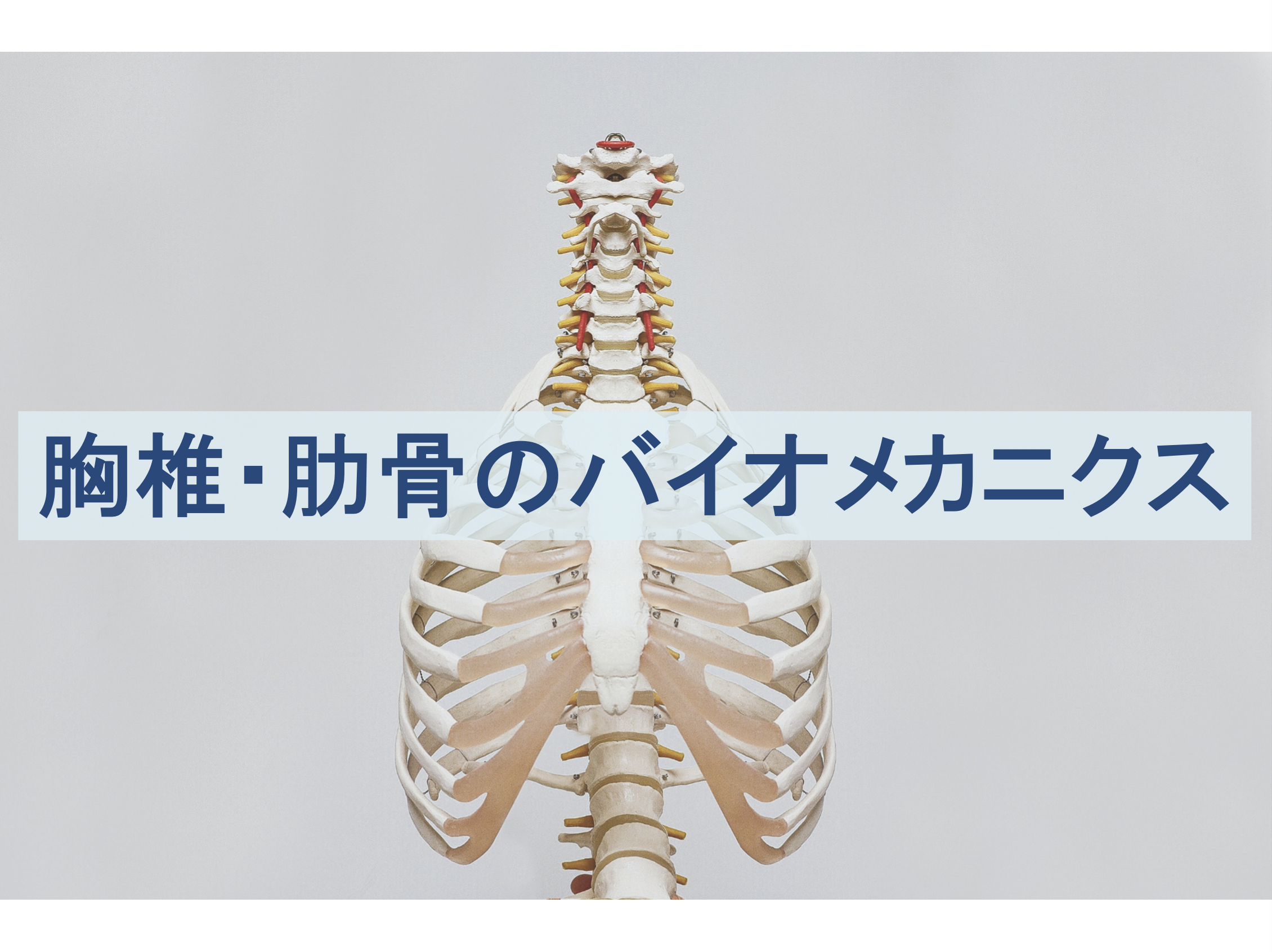胸椎・肋骨のバイオメカニクスのトップ画像